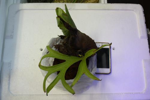 Platycerium coronarium 東海 岐阜 熱帯魚 水草 観葉植物販売 Grow aquarium