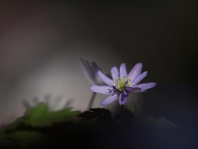 菊咲きいちげ(3)