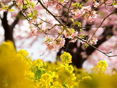 河津桜と菜の花(1)