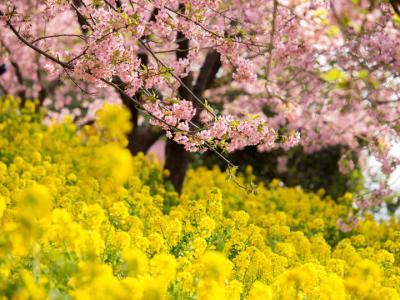 河津桜と菜の花(2)