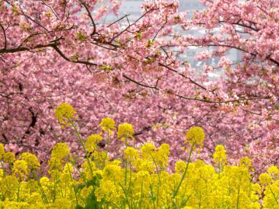 河津桜と菜の花(3)