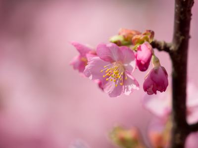 河津桜(6)