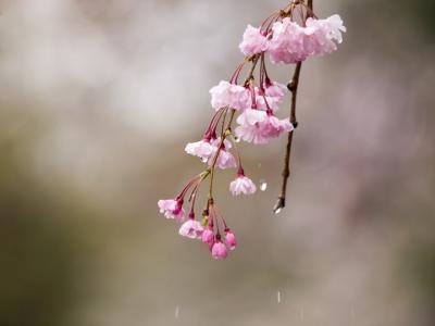 濡れ桜(2)