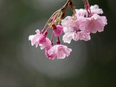 濡れ桜(3)