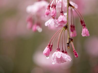 濡れ桜(5)