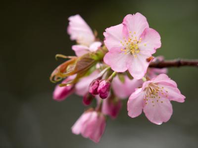 濡れ桜(1)