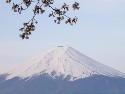 富士山と桜(1)