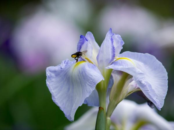 花菖蒲と蜜蜂