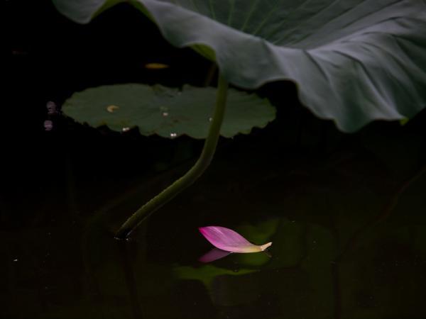 蓮の花(4)