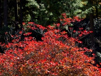 三峯神社の紅葉(1)