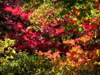 三峯神社の紅葉(6)