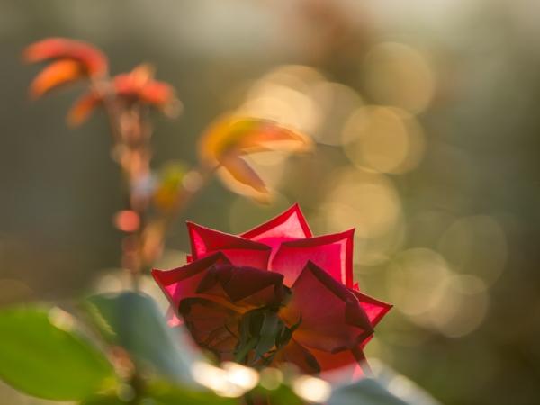 秋バラ A