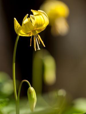 黄花カタクリ(3)