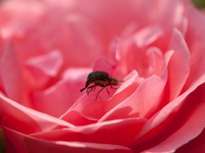 バラとツマグロキンバエ