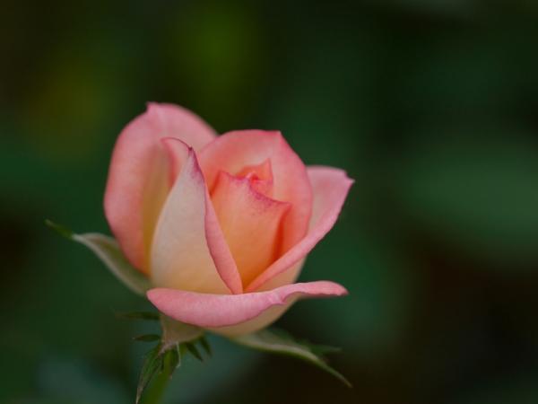 秋薔薇 E