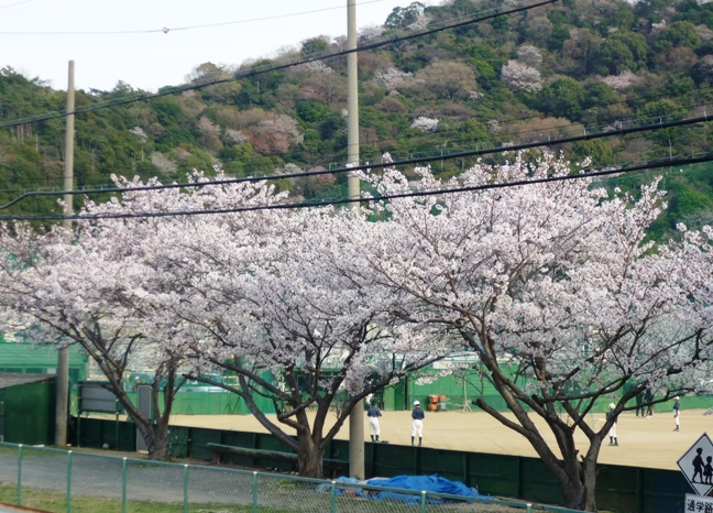 2013sakura4.jpg