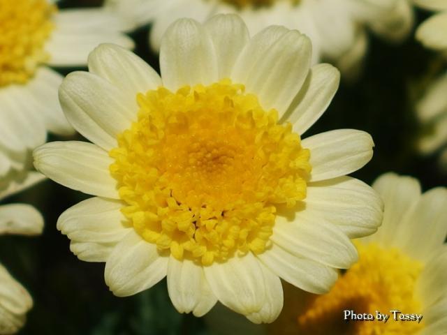 黄色いマーガレット ソレ・ミオ