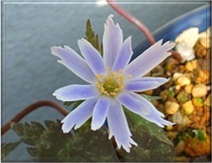 ユキワリイチゲのコスモス咲き