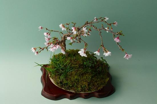 雲竜富士桜