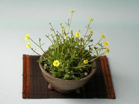 ヒキノカサ八重花