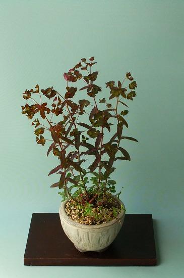 赤葉トウダイグサ