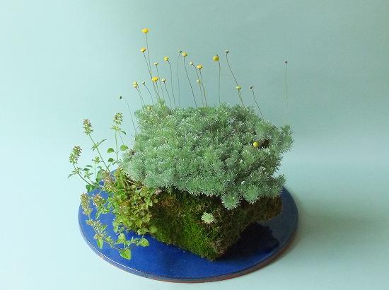 カゲロウ草