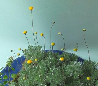 カゲロウ草 ①