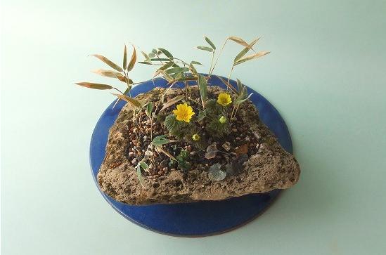 クマ笹と福寿草の寄せ植え