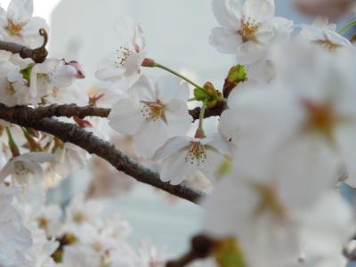 春のうららの♪
