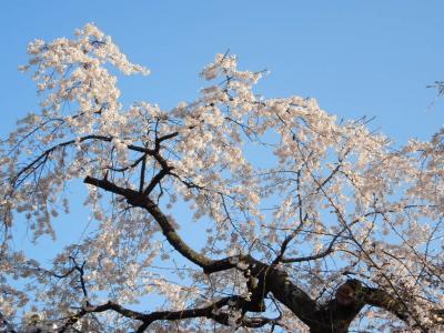 かわいいしだれ桜