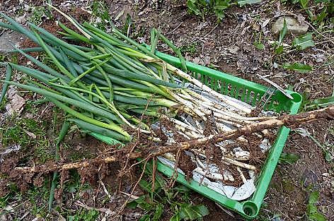 ネギより太い竹の根でした♪
