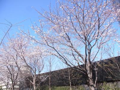 大崎桜 2013 (4)