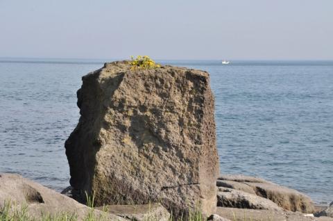海とタンポポ