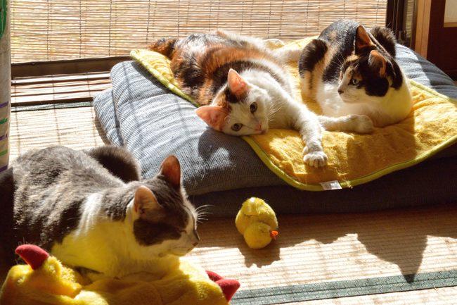 日光浴ネコたちv02ブログ