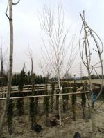 トトロシンボル木