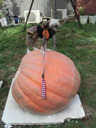かぼちゃくれ