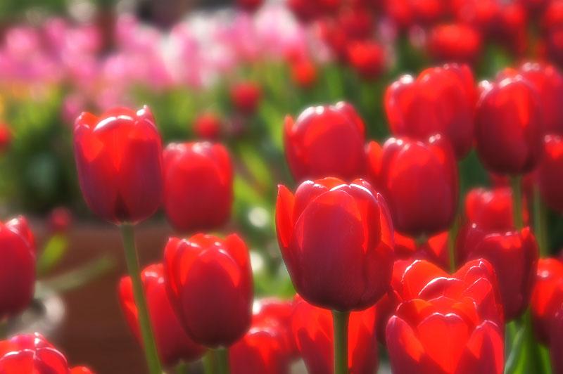 130113花の国アイスチューリップ4