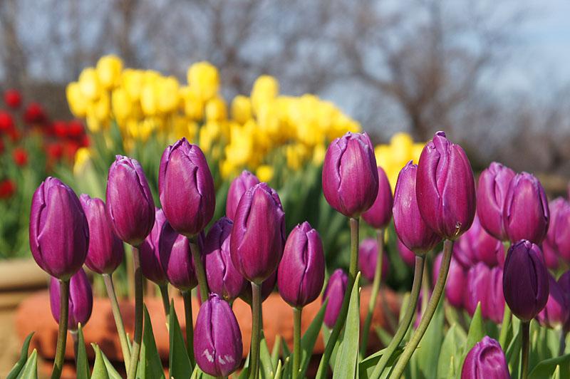 130113花の国アイスチューリップ3