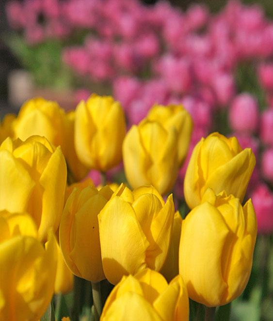 130113花の国アイスチューリップ2
