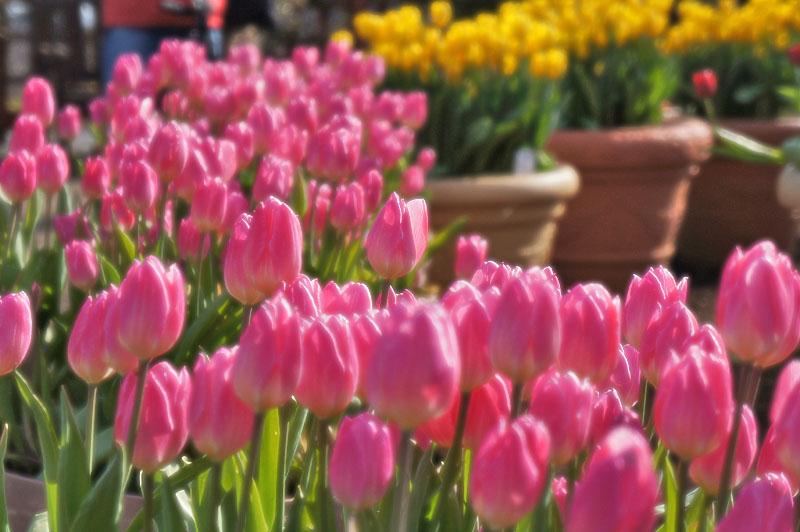 130113花の国アイスチューリップ1