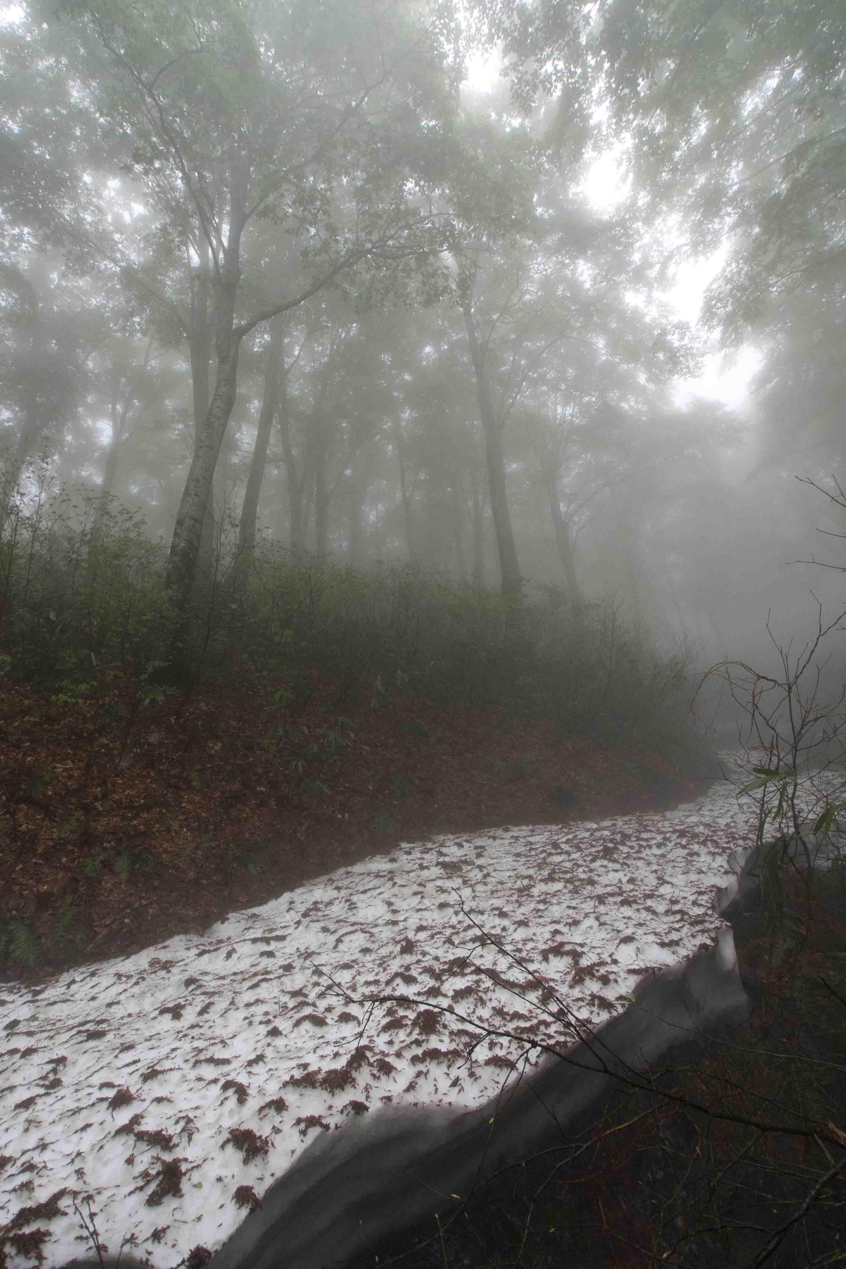 ブナ新緑雪渓縦ブログ