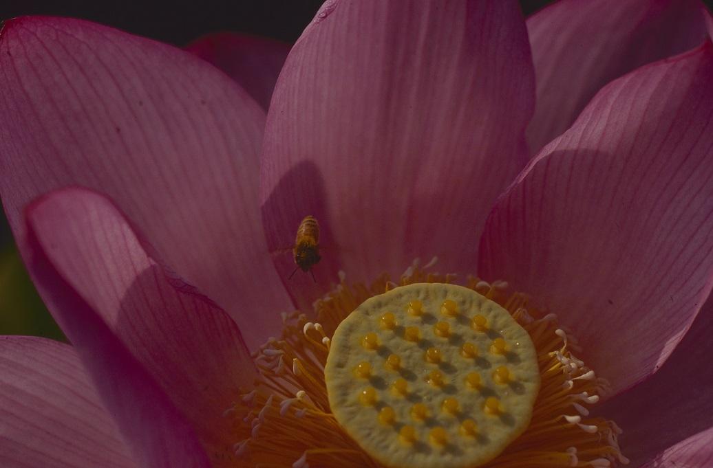 ハス真上からハチ1