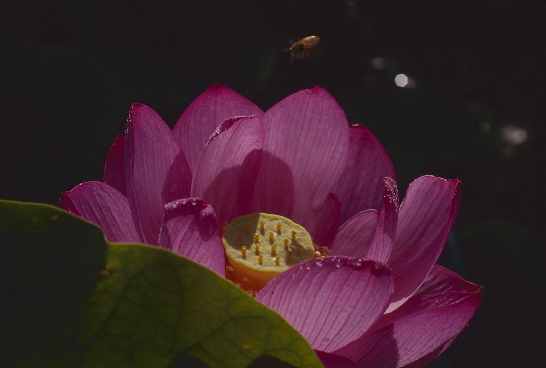 大賀蓮と蜂アップ