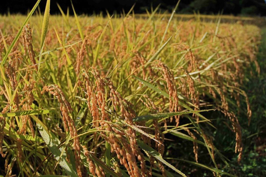 ブログ稲と露4