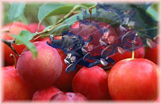 果実へダイブ