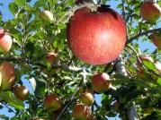 亘理町のりんご
