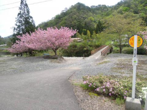 桜満開の停留所