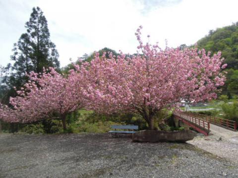 桜満開とベンチ