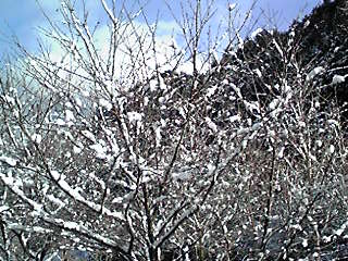 木々に雪が積もる