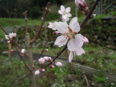 黄金桃 開花